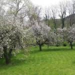 Cerisiers en fleurs à Chanteuge